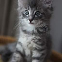 placeholder kitten