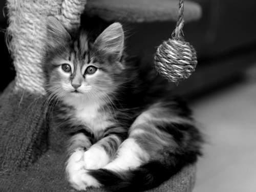 Kitten schwarz weiß